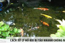Cách xử lý hồ Koi bị tảo nhanh chóng nhất