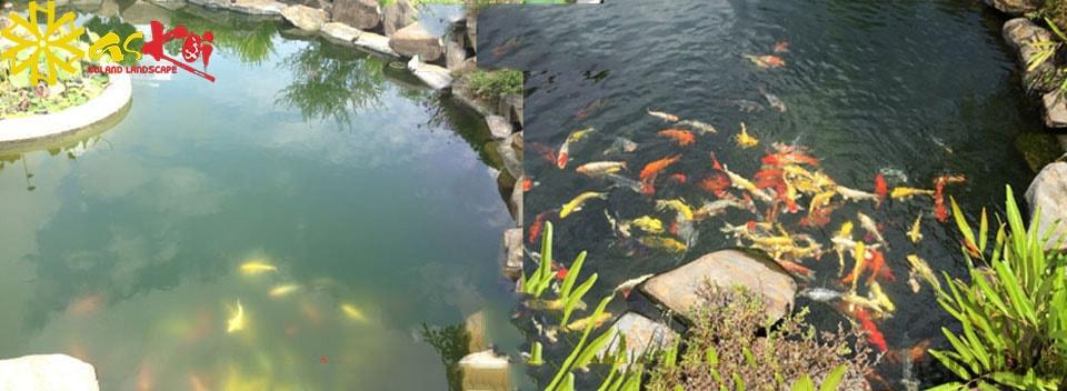 Hình ảnh hồ koi trước và sau khi được làm sạch tảo