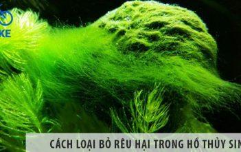 Cách loại bỏ rêu hại trong hồ thủy sinh hiệu quả